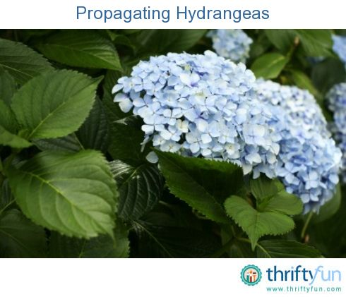 This is a guide about propagating hydrangeas. Propagating hydrangeas from cuttings is surprisingly easy and a great way to increase your plantings and share with neighbors.