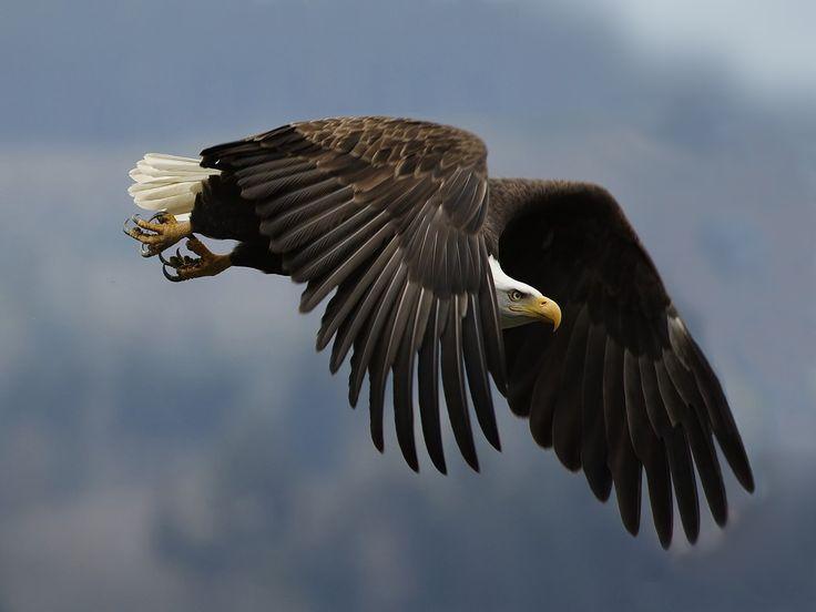 Скачать обои орел, крыло, взгляд, раздел животные в разрешении 1600x1200