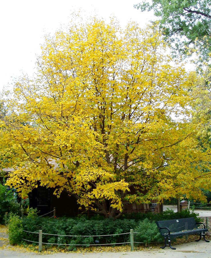Hophornbeam ostrya virginiana drought tolerant trees for Drought tolerant trees