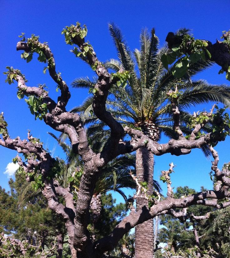 Salou Tree