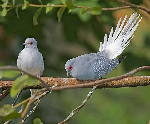 Diamond doves, much smaller than regular doves but the same amazing cooing sound!