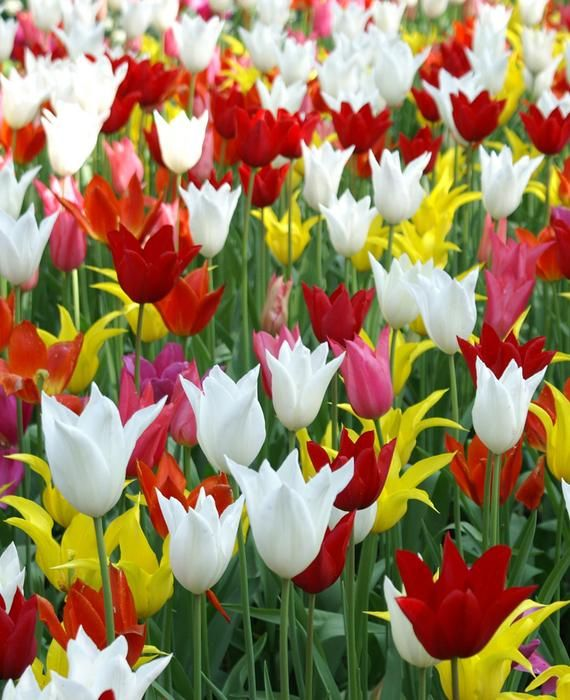 Lily Flowering Tulip Silver Ballade Tulipa K Van Bourgondien Tulip Bulbs Tulips Plant Flower Bulbs