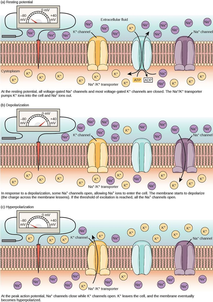The resting membrane potential of minus seventy volts is maintained by a sodium/potassium transporter that transports sodium ions out of the cell and potassium ions in. Voltage gated sodium and potassium channels are closed. In response to a nerve impulse, some sodium channels open, allowing sodium ions to enter the cell. The membrane starts to depolarize; in other words, the charge across the membrane lessens. If the membrane potential increases to the threshold of excitation, all the…