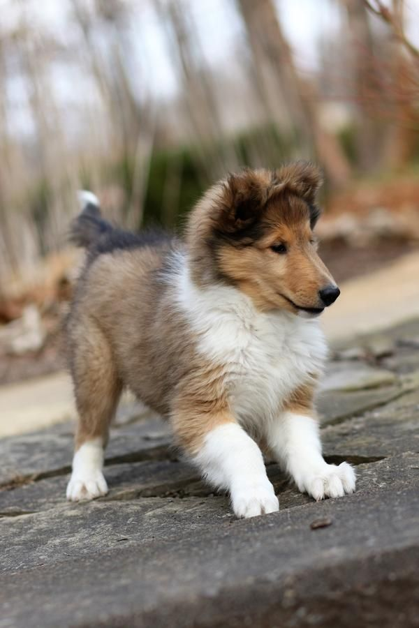 Akc Rough Collie Breeder With Champion Bloodlines In Union Lake