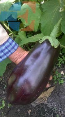 Secretul legumelor uriaşe de la Dumbrăveni#1