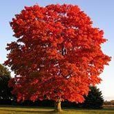 Municipalities Demand this Tree and so should you! - Municipalities demand this tree and you should too! Why? • Traffic stopping, reliable red fall color • The fastest growing maple...3-5 feet or more a year! • Insect & Disease Resistant • Pleasing, uniform shape • Minimal mess after its leaves drop in...