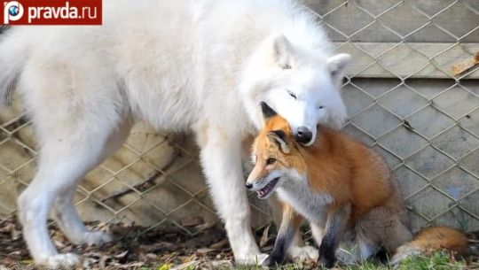 рыжа лиса и арктический волк