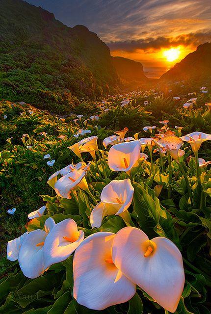 Calla Lily Valley, Big Sur - More vivid version | Flickr - Photo Sharing!
