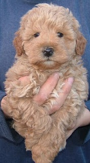 I want an Apricot Schnoodle so, so bad!