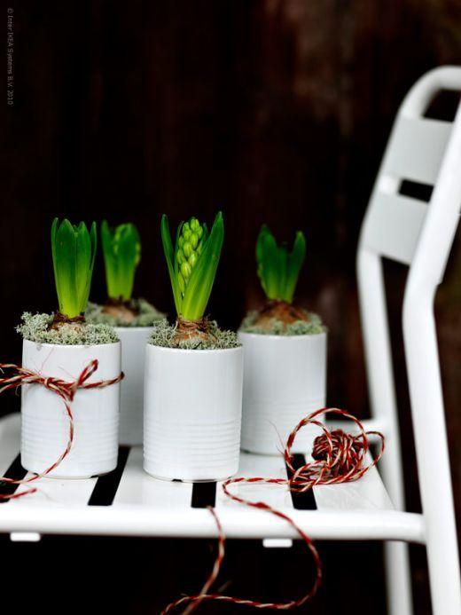 Bulbs! Reuse tin cans with hyacinths