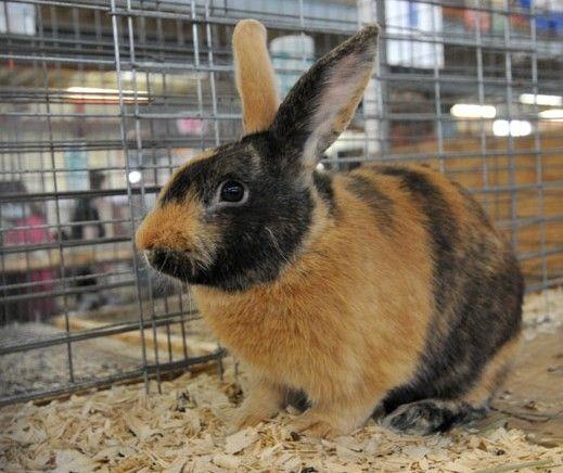22 Best Harlequin Rabbits Images On Pinterest