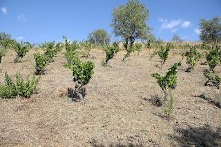 Devinssi löytyi, ja lopulta myös vierailun isäntä. Viinitalo on varsin pieni, tuotanto vain 10.000 pulloa vuodessa. Tuotantotilat sijaitsevat kylän keskustassa vanhassa oliiviöljypuristamossa, joka on kunnostettu ja muutettu viinivalmistamoksi. Tilat olivat hyvin pienet, suuren autotallin kokoiset. Isäntä esitteli innokkaasti käymistankit, joitka ovat yksinkertaiset terästankit. Lämpötilan kontrollointiin käytetään maidon jäähdyttimiä, jotka upotetaan viiniin jos lämpötila nousee liiaksi.