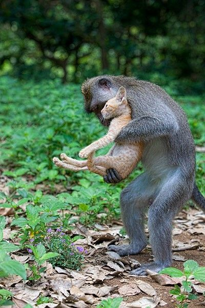 Look how this monkey picks up this cat, with one hand on it's bottom, to help keep from hurting the ribs....Smart!