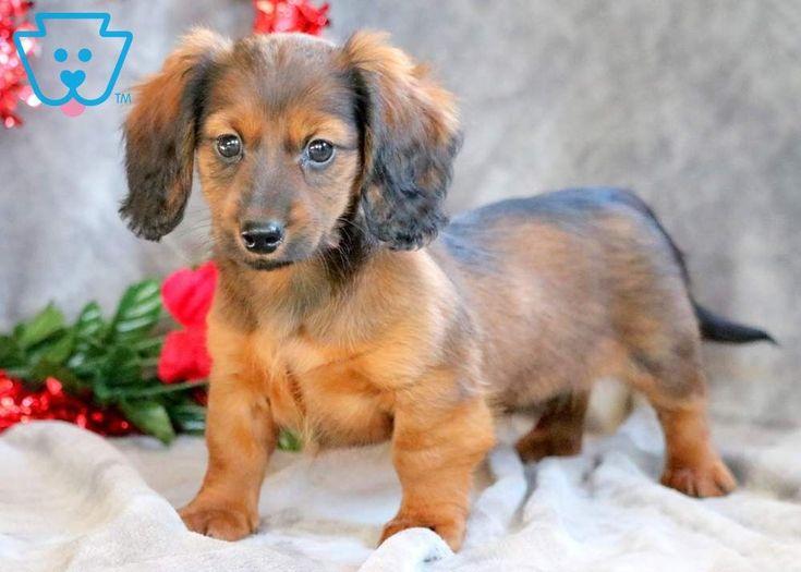 Ally dachshund miniature puppy for sale keystone