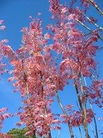 Cedrela sinensis - Chinese Cedar   (Chinese Toon) Tree Blerick Trees Buy Online Trees Advanced Trees, Screening Plants, Fruit Trees