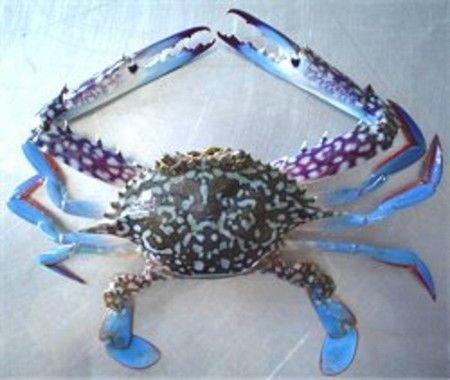 Blue swimmer crabs are found in Australia