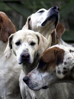 These affectionate and protective #foxhounds made great companions to #President George Washington. #pets