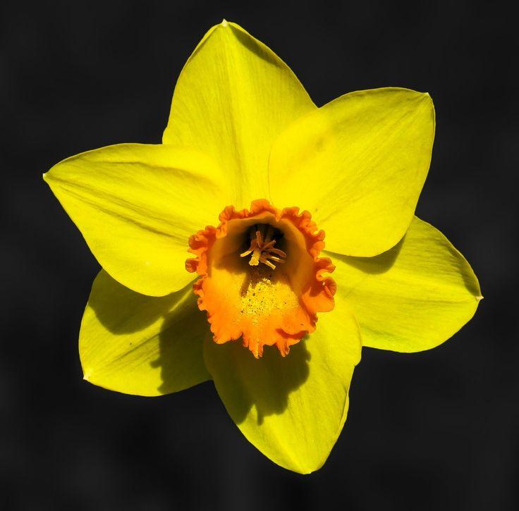 Λουλούδι, Νάρκισσος, Άνθος, Κίτρινο, Άνοιξη, Κλείνω