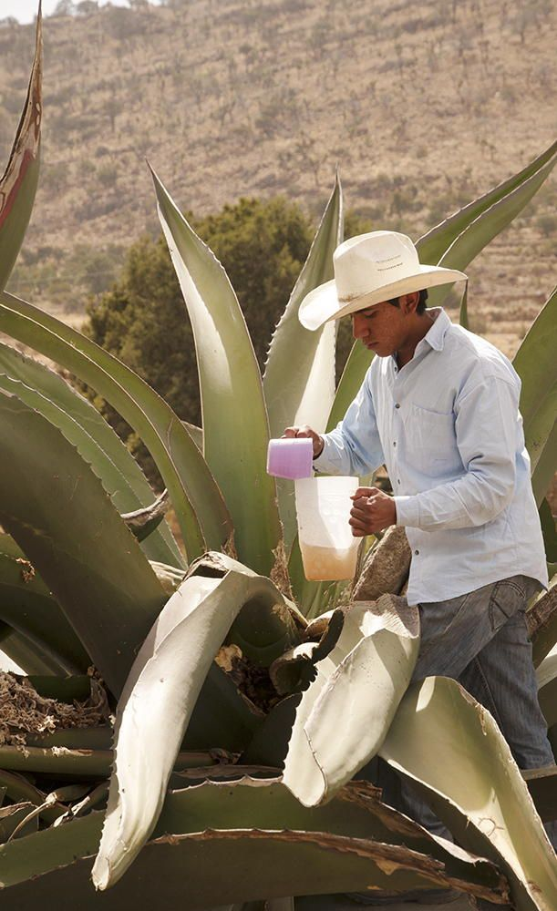 """Collecting """"honeywater"""" from the heart of """"maguey,"""" a mescal agave.  This sweet liquid is fermented to produce """"pulque,"""" an alcoholic beverage.  Mexico by Daniele Gualdoni"""