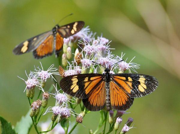 A borboleta Actinote zikani é uma das 5 espécies brasileiras mais ameaçadas. Ela vive na Serra do Mar, em São Paulo: http://abr.io/3YFj