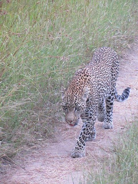 Leopard in Sabi Sabi, South Africa. Feb 2012.