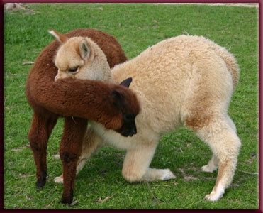sweet crias neck wrestlingAlpacas Dreams N, Alpacas Dreamn, Adorable Alpacas, Huacaya Alpacas, Llamas Alpacas