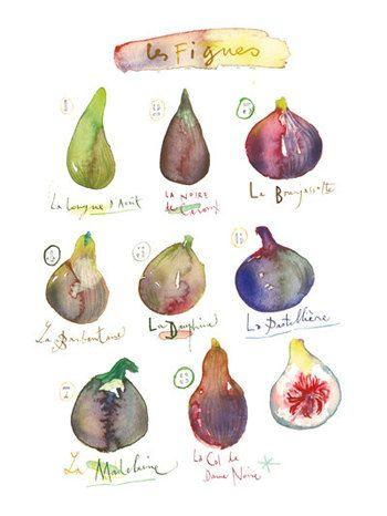 Les figues Variétés Planche botanique, aquarelle, Décor cuisine, Fruits d'été, Affiche, Décoration murale