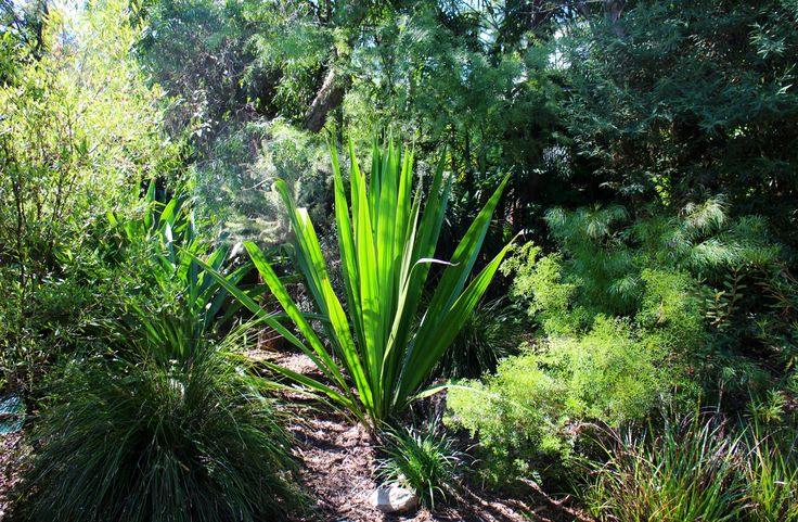 Gymea Lilly in old garden, new one coming(;