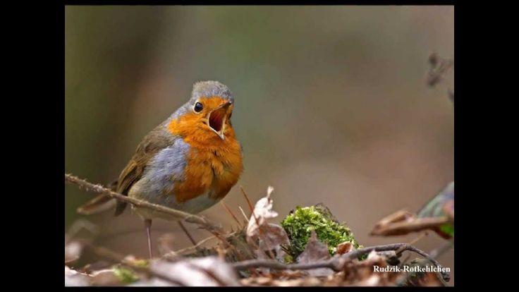 Ptaki Polski - Wiosenne Odgłosy Ptaków ;``Rudzik(Rotkehlchen)``,``Strzyż...