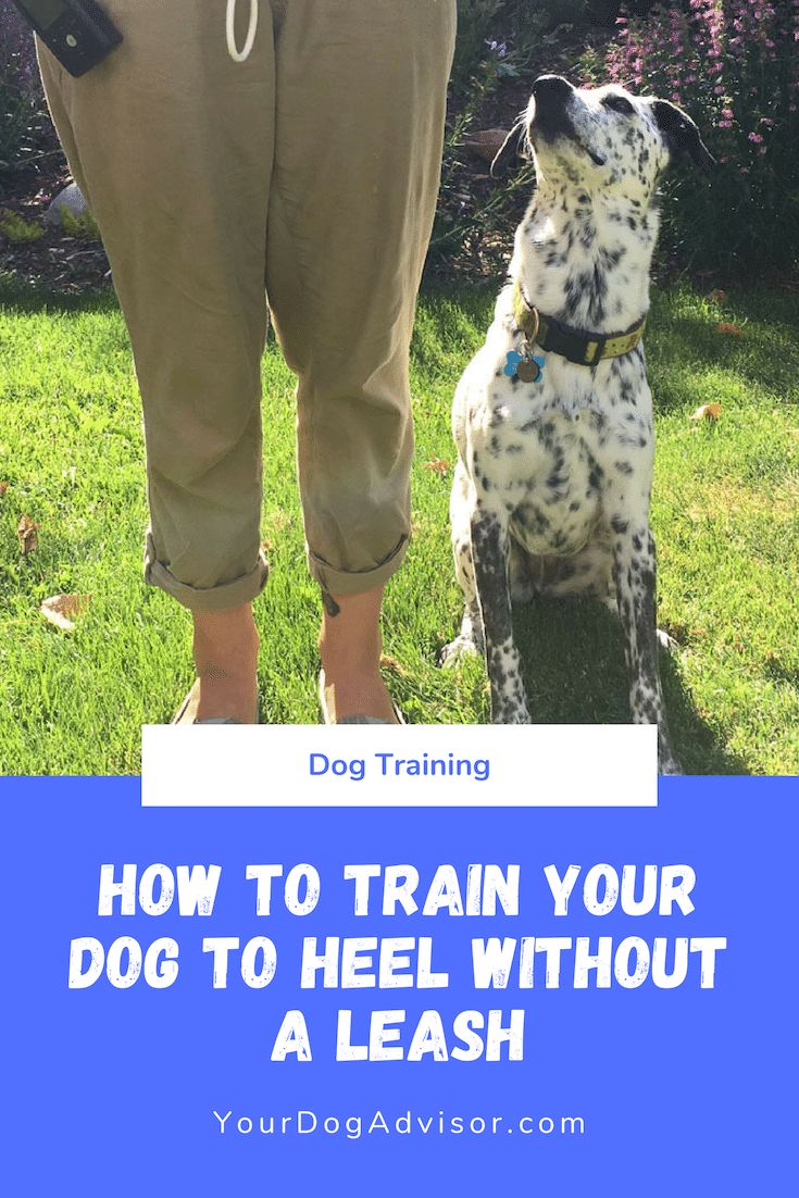 How to train your dog to heel without a leash training