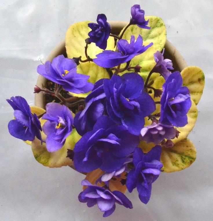 Trinket Summer Skies African Violet Plant in Full Bloom