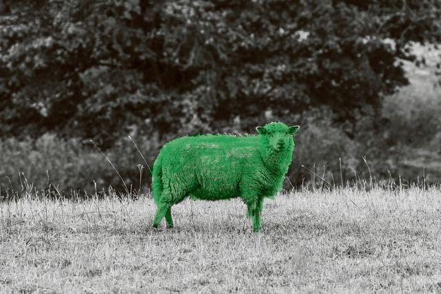 Schaapje, schaapje, heb je groene wol? - NRC