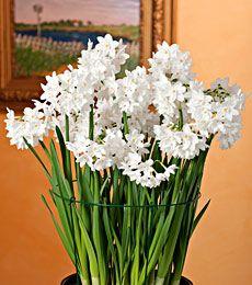 Paperwhite Bulbs - Paperwhite Flowers, Fragrant Paperwhites, Paperwhite Narcissus Bulb - White Flower Farm