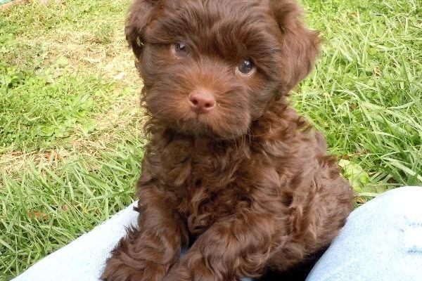 shih tzu yorkie mix | ... Shihpoo Puppies for Sale shih tzu toy poodle hybrid mix breed
