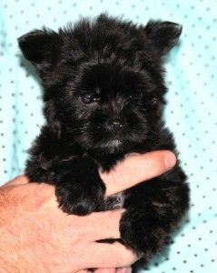 teacup shorkie puppies for sale