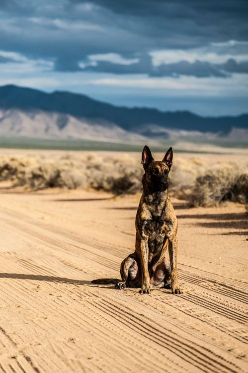 DUTCH SHEPHERD...GREAT SHOT   Love love these dogs! Wish I had one