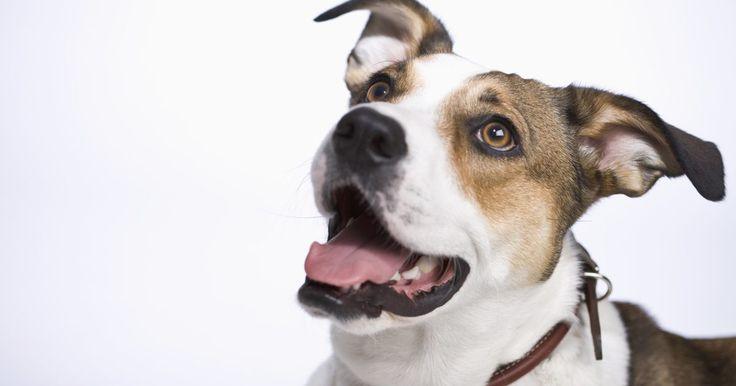 Doença de Crohn em cães. A doença de Crohn em cães é uma condição que ataca o estômago e intestinos. Cachorros com essa doença possuem problemas digestivos constantes e frequentemente são fracos e abaixo do peso. Felizmente, existem opções de tratamento disponíveis.