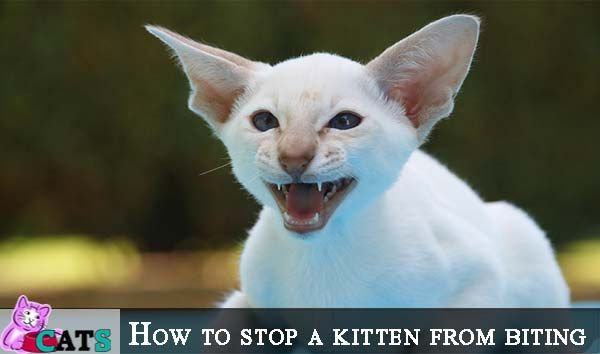 How To Stop A Kitten From Biting Catsfud Kittens Kitten Biting Cat Biting