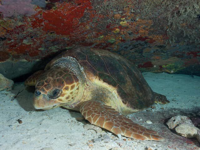 Facts about the loggerhead sea turtle, including information on the loggerhead turtle's natural history, reproduction, distribution and conservation.