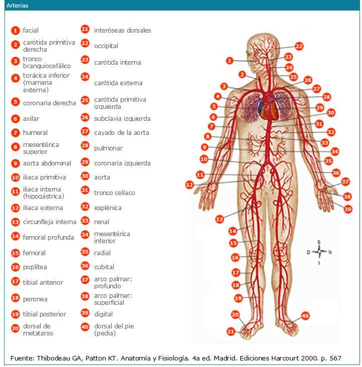 8 best Sistema Cardiovascular - arterias images on Pinterest ...