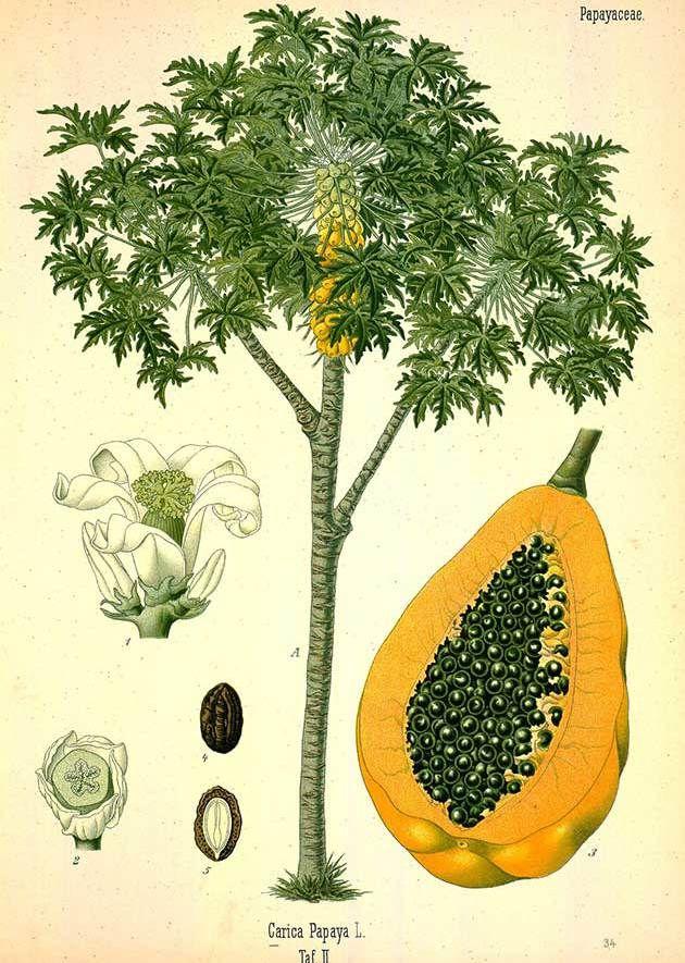 Medicinal plant illustrations