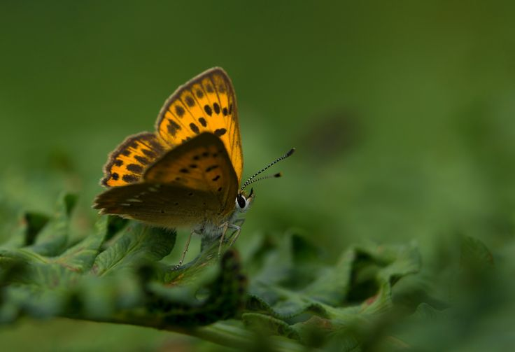 Female Lycaena virgaureae - Female of this beautiful small butterfly species resting on fern vegetation