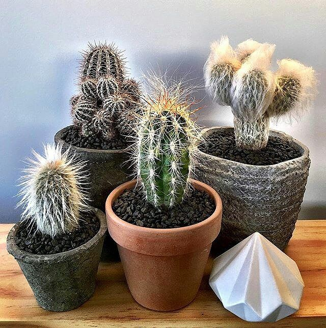 #Repost @cactus.man  Some families are just really hairy... #cactus #cactuslove #succulent #succulove #desert #plant #nature #leafandclay #jungalowstyle #succulents #flower #flowerlove #garden #plants #instagood #photoftheday #picoftheday #instalike #beautiful #green #cactusrepost #bestoftheday  #cactusclub #cacti #urbanjunglebloggers #love