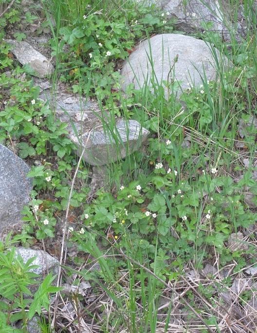 Metsämansikan kukkia/ wood straweberrys flowers