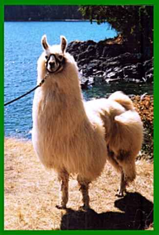 The llama is a domestic herd animal and is a member of the camelid family. Other members of this family are the alpaca and the wild guanaco and wild vicuna.
