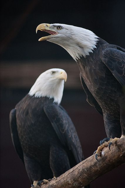 bald eagles by iPhotograph, via Flickr.