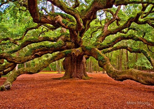 Angel Oak – John's Island, South Carolina. Just want to curl up on a branch and read all day!