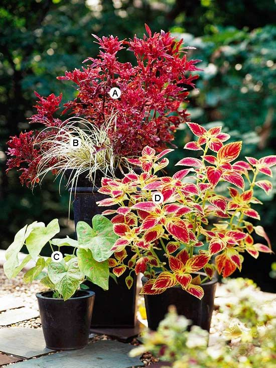 Plants for shade: Try Contrasting Containers. If you're not sure where to start, look at your container and complement or contrast it with color. Here, the black pots look great against bold, bright colors.  A. Coleus (Solenostemon 'Daffy'): 1  B. Sedge (Carex hachijoensis): 1  C. Caladium 'Florida Beauty': 1  D. Coleus (Solenostemon 'JoDonna'): 1