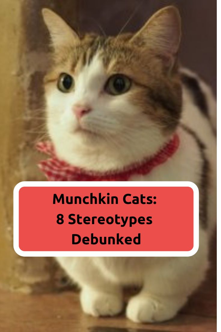 Munchkin-Katzen   – Blogs