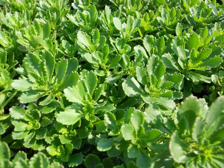 Sedum hybridum 'Immergrunchen'